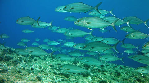 Diving with AmberJack shoal - Mediterranean Sea Live Action