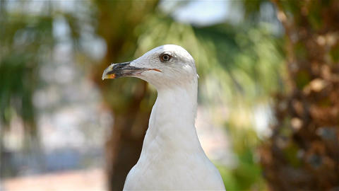 Funny White Seagull Bird Portrait Footage