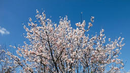 cherry blossom blossoms blossoming tree trees bloom blooming plum almond branch 影片素材