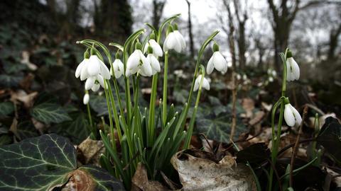 Close Up Macro of Springtime Snowdrop Flowers Filmmaterial
