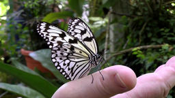Malaysia Penang island 047 black and white patterned butterfly on human hand Footage