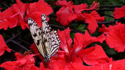 Malaysia Penang island 048 black and white patterned butterfly on red flower Footage