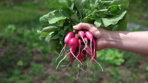 Two videos of hands holding bunch of radish in real slow motion Footage
