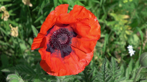 Two videos of poppy flower in real slow motion Footage
