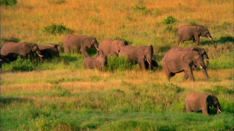 the Herd of Elephants Walking on the Savannah. About Ten Elephants go Through th Footage