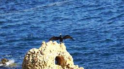 Cormorant (Phalacrocorax carbo) drying wings Footage