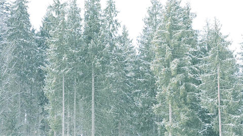 Snow falls on background of majestic evergreen fir trees Footage