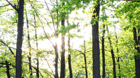 Sun rays come through fresh, lush, spring foliage in a forest Footage