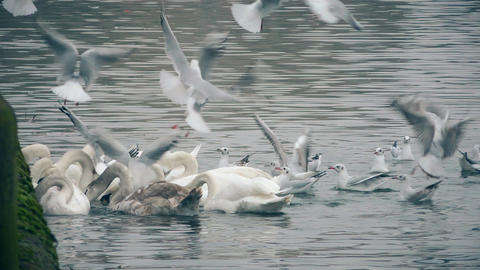 Swans and gulls on the river Footage