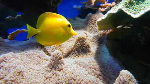 Yellow Tang Zebrasoma Flavescens Footage