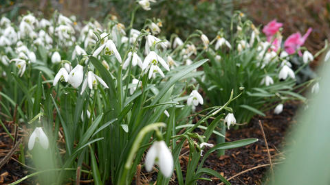 Snowdrops, beautiful white flowers Footage