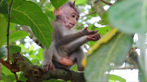 Little monkey on the branch in a Sacred Monkey Forest, Bali Filmmaterial