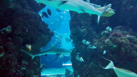 Sharks in Aquarium Footage