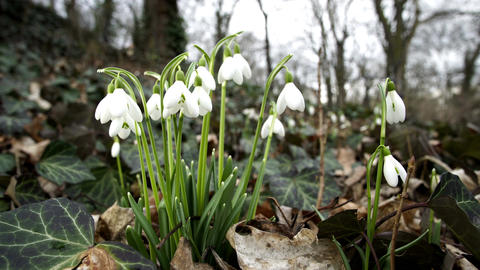 Low Angle Dolly of Spring Snowdrop Flower Footage