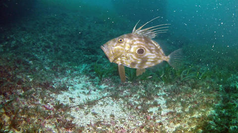 Diving in Spain - John Dory Fish Live Action