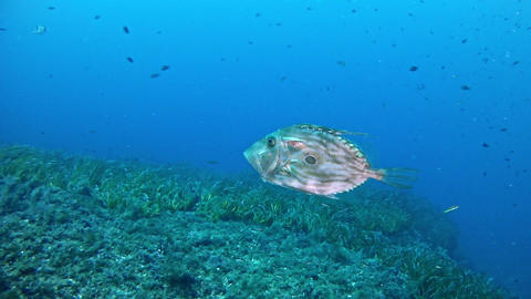 John Dory fish - Mallorca Diving Footage