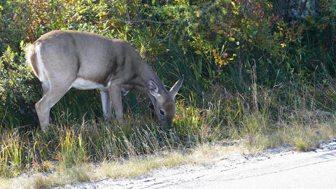 White tailed deer near road