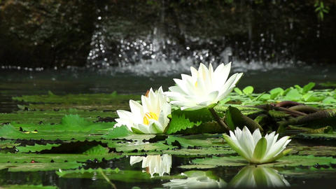 Nice water lilies Footage