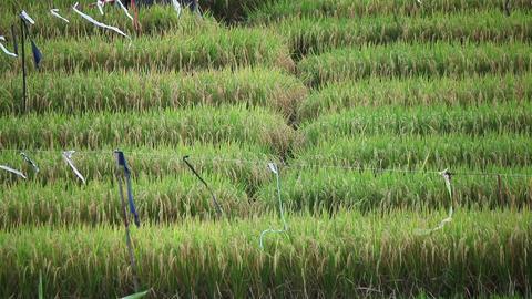 Village rice field Footage