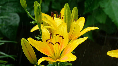 Yellow Lily buds and petals under rain ビデオ