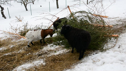 Feeding goats in snow Filmmaterial