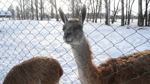 Llama eat snow