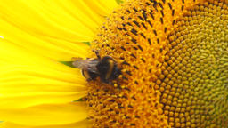 bee on a sunflower Footage
