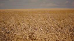 field full of wheat Footage