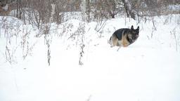 German Shepherd dog, playing outdoor in snow Filmmaterial