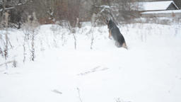 German Shepherd dog, playing outdoor in snow 画像