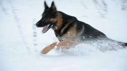 German Shepherd dog playing In A Snow Filmmaterial