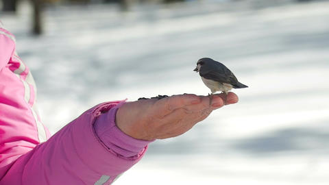 Bird in women's hand eat seeds Footage