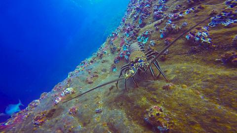 Lobster Footage