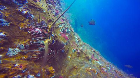 Shark attacks the lobster Footage
