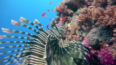 Diving in the Red sea near Egypt. Lionfish, gracefully floating over a coral ree Live Action