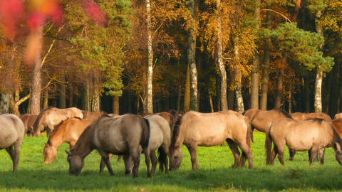 11836 wild horses grazing in colorful autumn close pan Filmmaterial