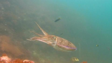 Pharaoh cuttlefish Footage