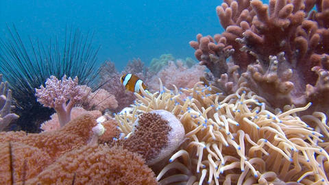 Symbiosis of clown fish and anemones.Amazing diving on the reefs of Malapascua i Live Action