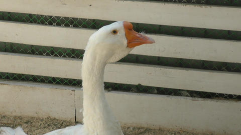 Goose on the farm Filmmaterial