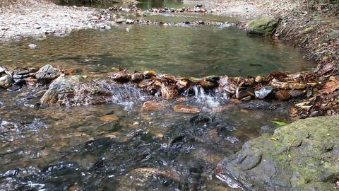 Flock of salmon on spawning Footage
