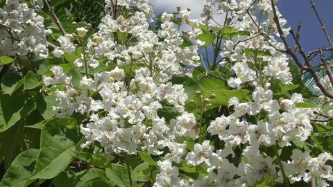 Catalpa flowers in spring Filmmaterial