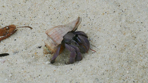 hermit crab crawling on white sand Footage