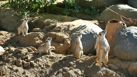 Three videos of meerkat family in 4K Footage