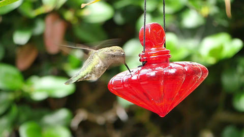 Video of real Humming Bird in slow motion Stock Video Footage