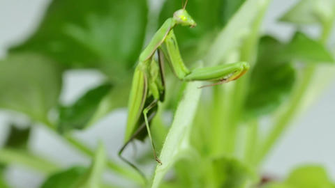 The Mantis Is Common On The Leaves Of Plants Filmmaterial