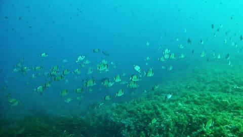 Diving in Mallorca - Spain - Two banded breams shoal Live Action