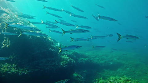 Diving in Mallorca - Spain - Barracudas shoal Live Action