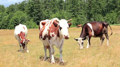 Cows On Pasture Footage