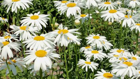 Large White Garden Daisy Footage