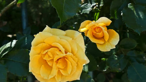 Buds yellow roses Stock Video Footage